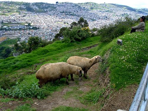 pictures landscape photo quito ecuador interesting sheep... (Photo: ex_magician on Flickr)